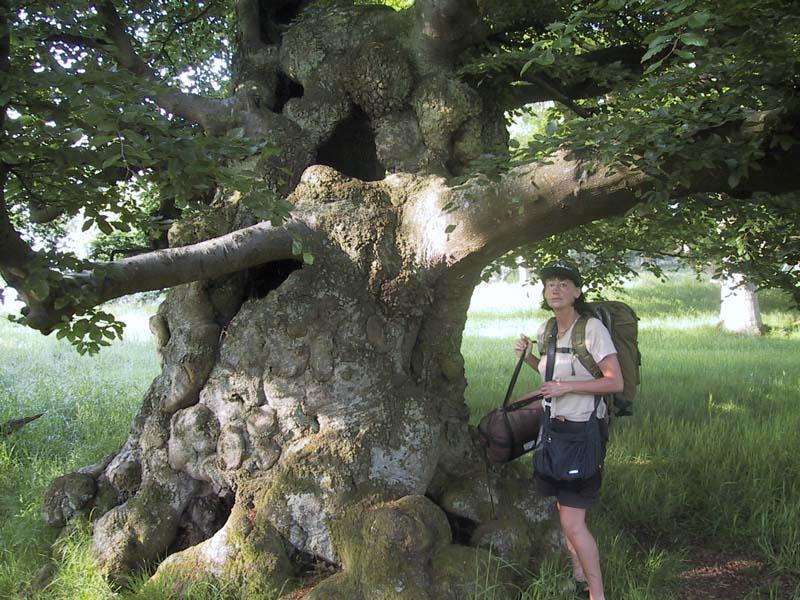 Helle ved egetræet